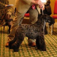 bedlington terrier züchter